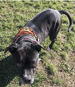dog-walking-at-humane-society-hartford-county-gamora